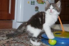 Порода - Норвежская лесная кошка. Norwegian Forest cat