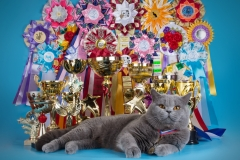 Кот на вязку - W.CH (WCF) Number One Sweet Way*RU (British Shorthair) - One_1