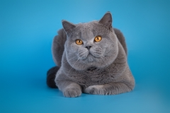 Кот на вязку - W.CH (WCF) Number One Sweet Way*RU (British Shorthair) - One_2