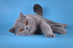 Кот на вязку - W.CH (WCF) Number One Sweet Way*RU (British Shorthair) - one_9053