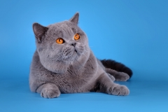 Кот на вязку - W.CH (WCF) Number One Sweet Way*RU (British Shorthair) - one_9057