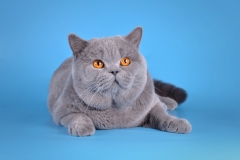 Кот на вязку - W.CH (WCF) Number One Sweet Way*RU (British Shorthair) - one_9058