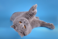 Кот на вязку - W.CH (WCF) Number One Sweet Way*RU (British Shorthair) - one_9079