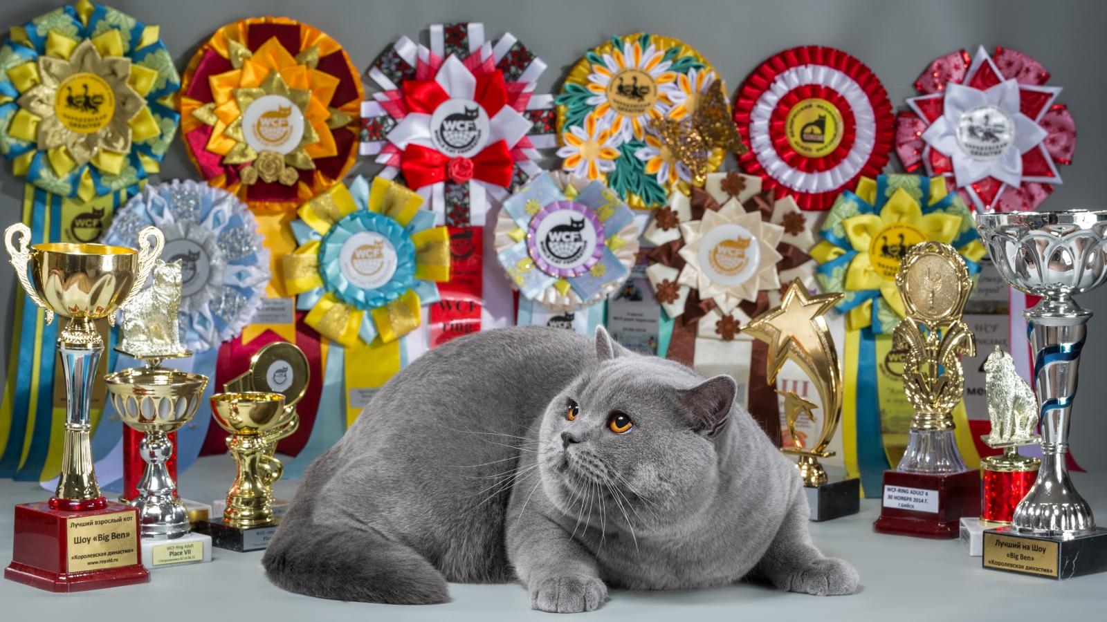 Кот на вязку - Elliot Naitan (BRI a) 3