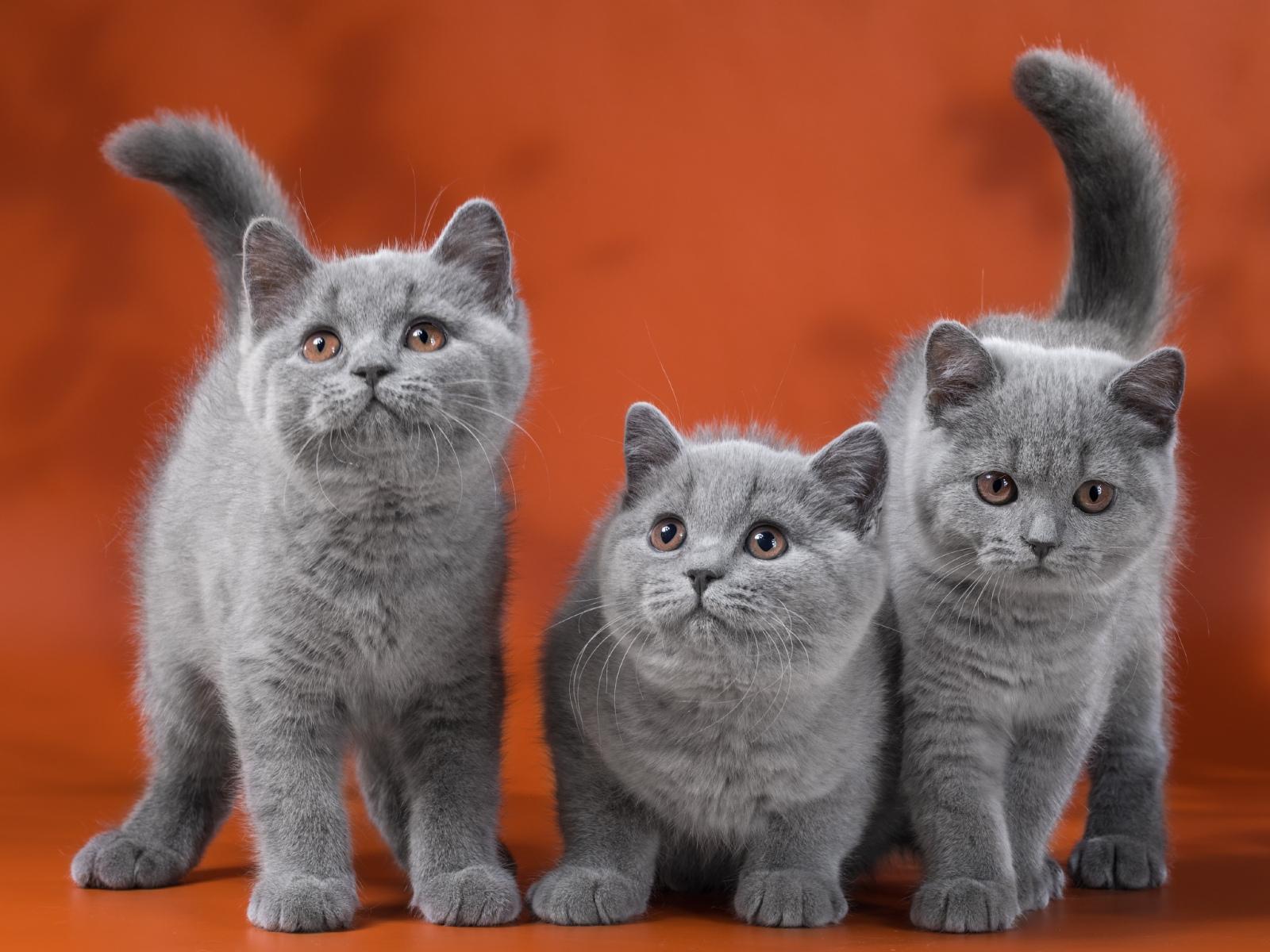 Кот на вязку - Elliot Naitan (BRI a) - котята