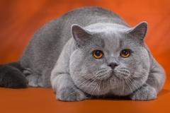 Кот на вязку - Elliot Naitan (BRI a) 1