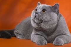 Кот на вязку - Elliot Naitan (BRI a) 2