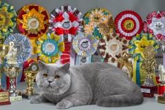 Кот на вязку - Elliot Naitan (BRI a) 4
