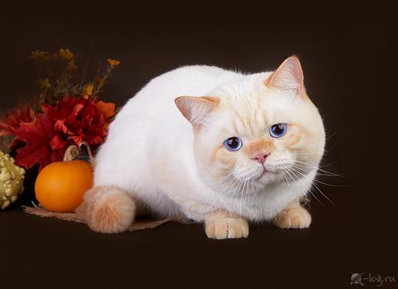 Кот челси