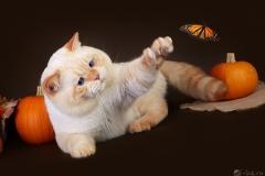 Кот на вязку - Mikado Emilio Chelsea (BRI)