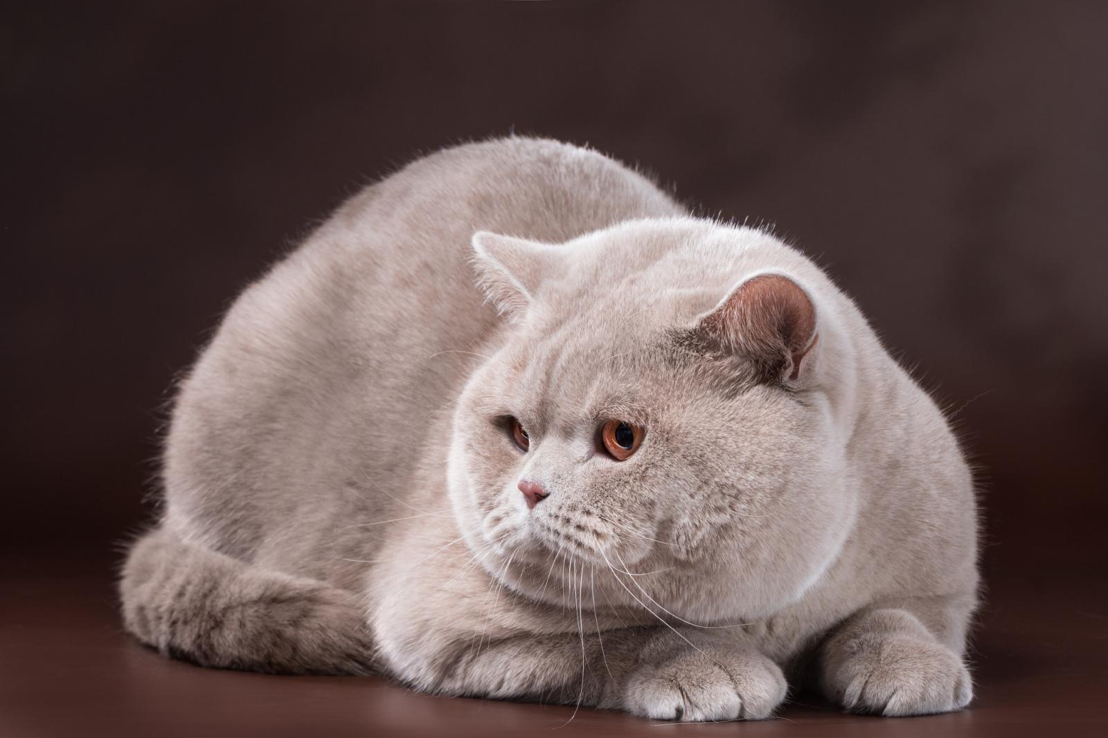 Кот на вязку - Milan Ellinweiss (BRI) (2)