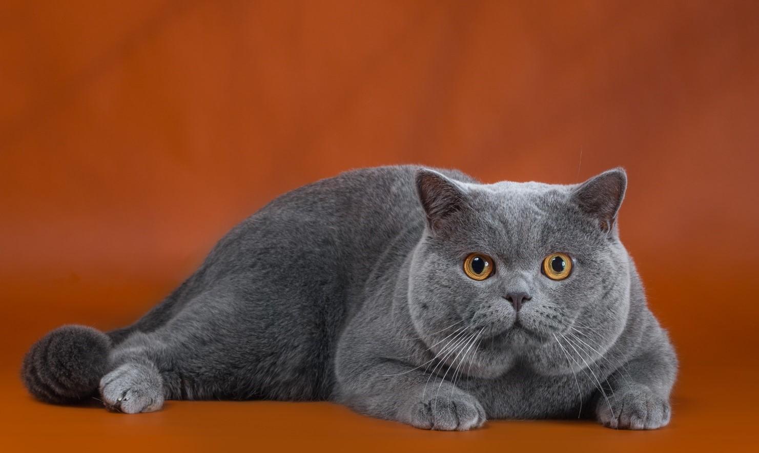 Кот на вязку - Patrik (BRI a) 2