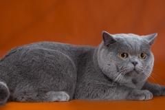 Кот на вязку - Patrik (BRI a) 1