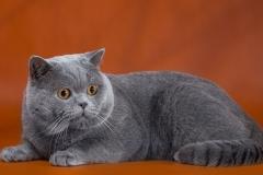 Кот на вязку - Patrik (BRI a) 3