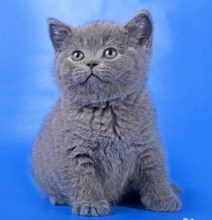 Кот на вязку - William (BRI a). Котята из предыдущего помета