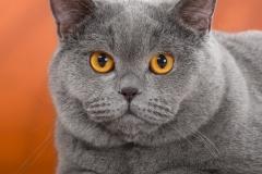 Кот на вязку - William (BRI a)