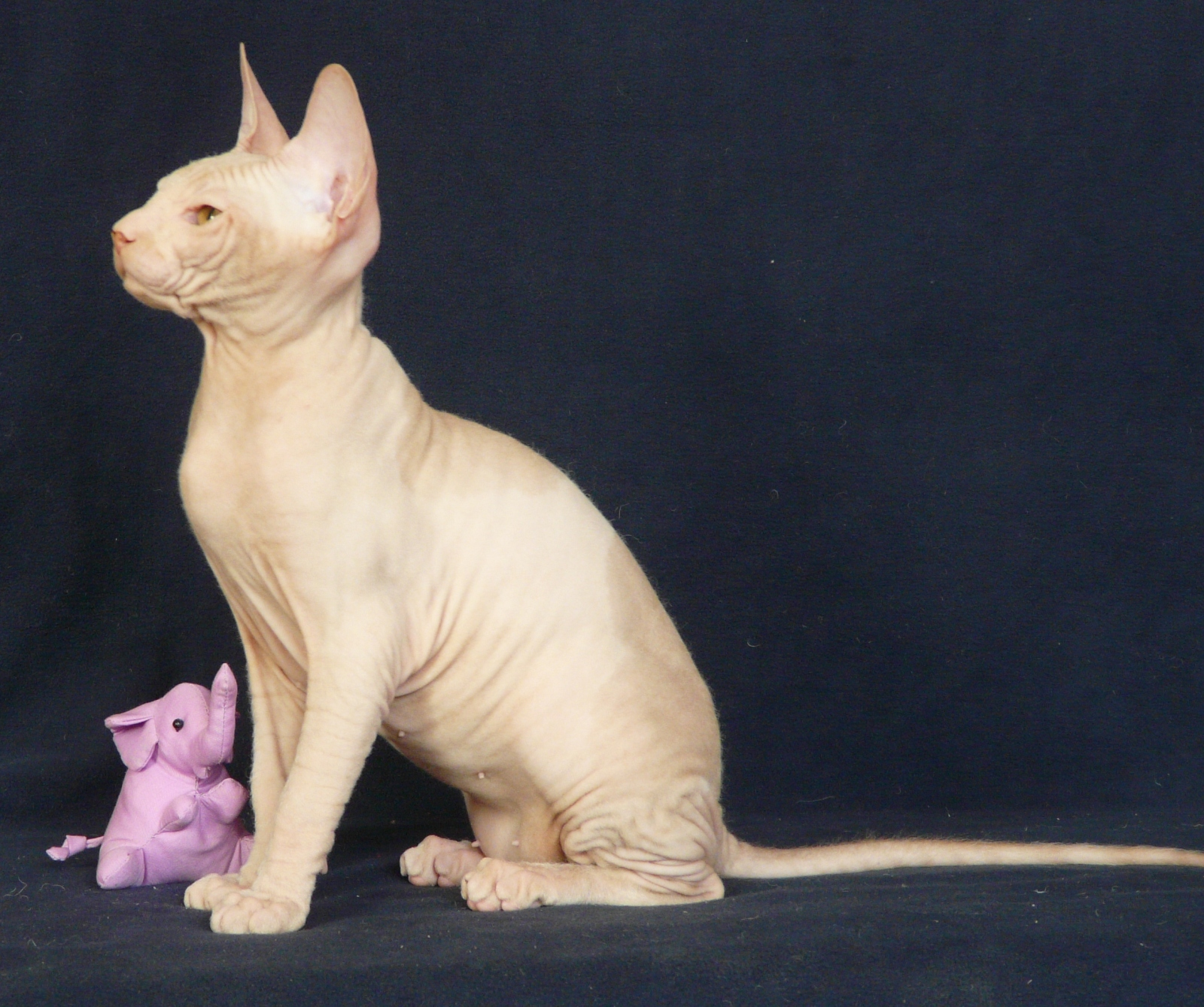 Кошка на вязку - Tasha Fortune Nibori (DSX) 4