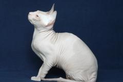 Кошка на вязку - Tasha Fortune Nibori (DSX) 1