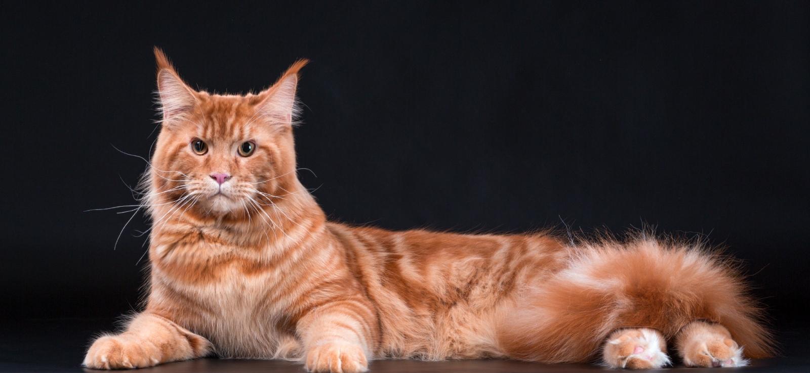 Кот на вязку - Артемида Шерхан (MCO). Окрас - красный мрамор