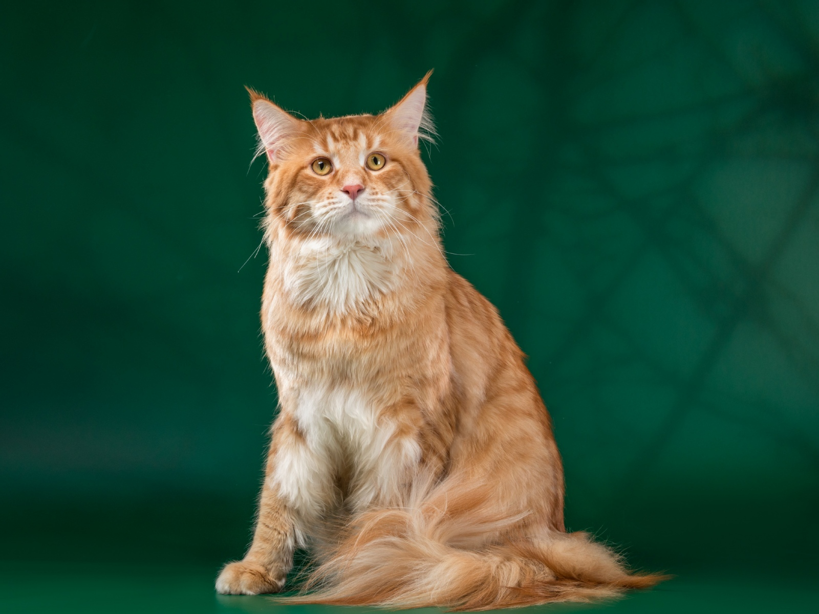 Кот на вязку - Yosia Richard Gold King (MCO d 23) 1