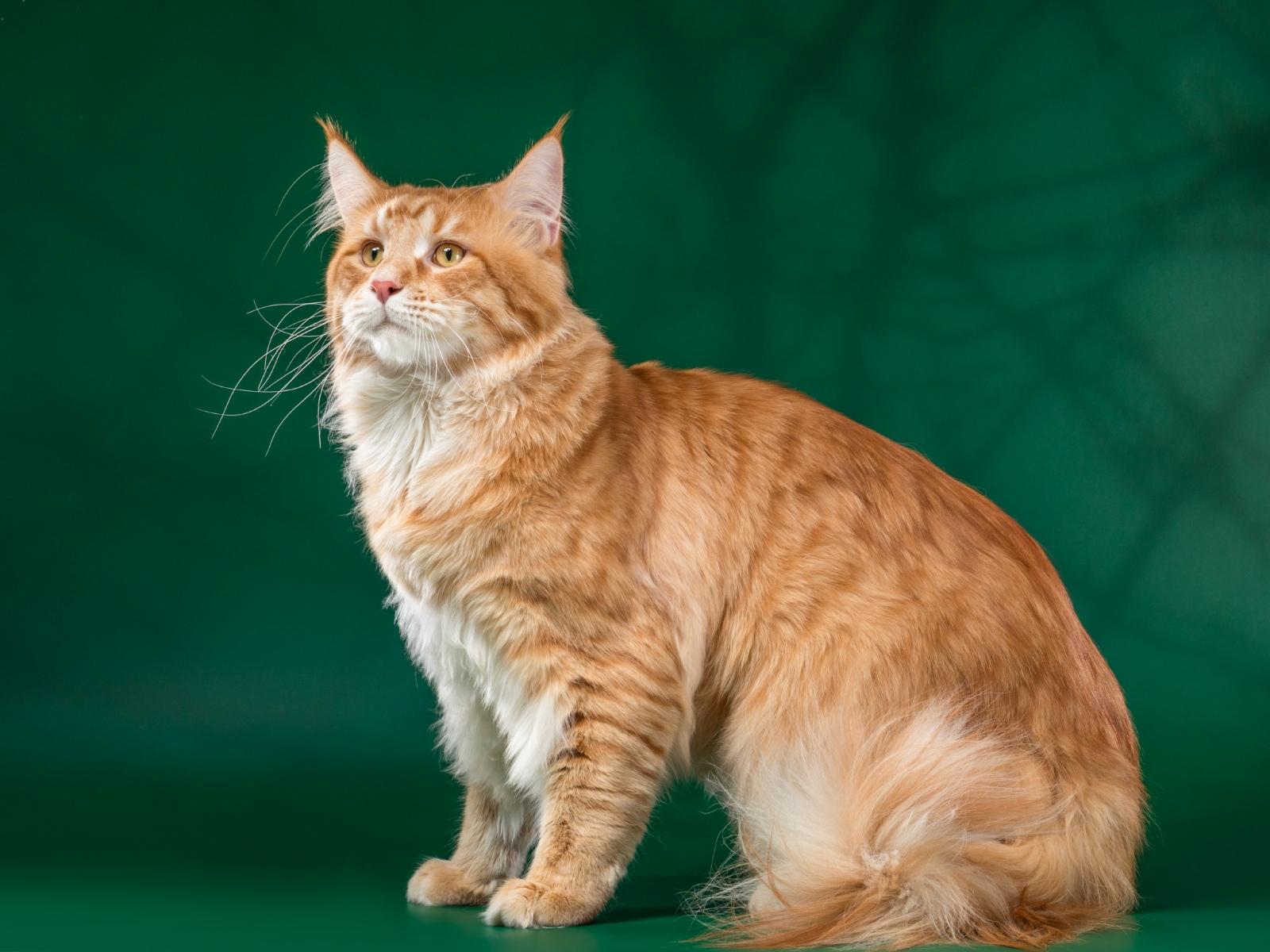 Кот на вязку - Yosia Richard Gold King (MCO d 23) 2