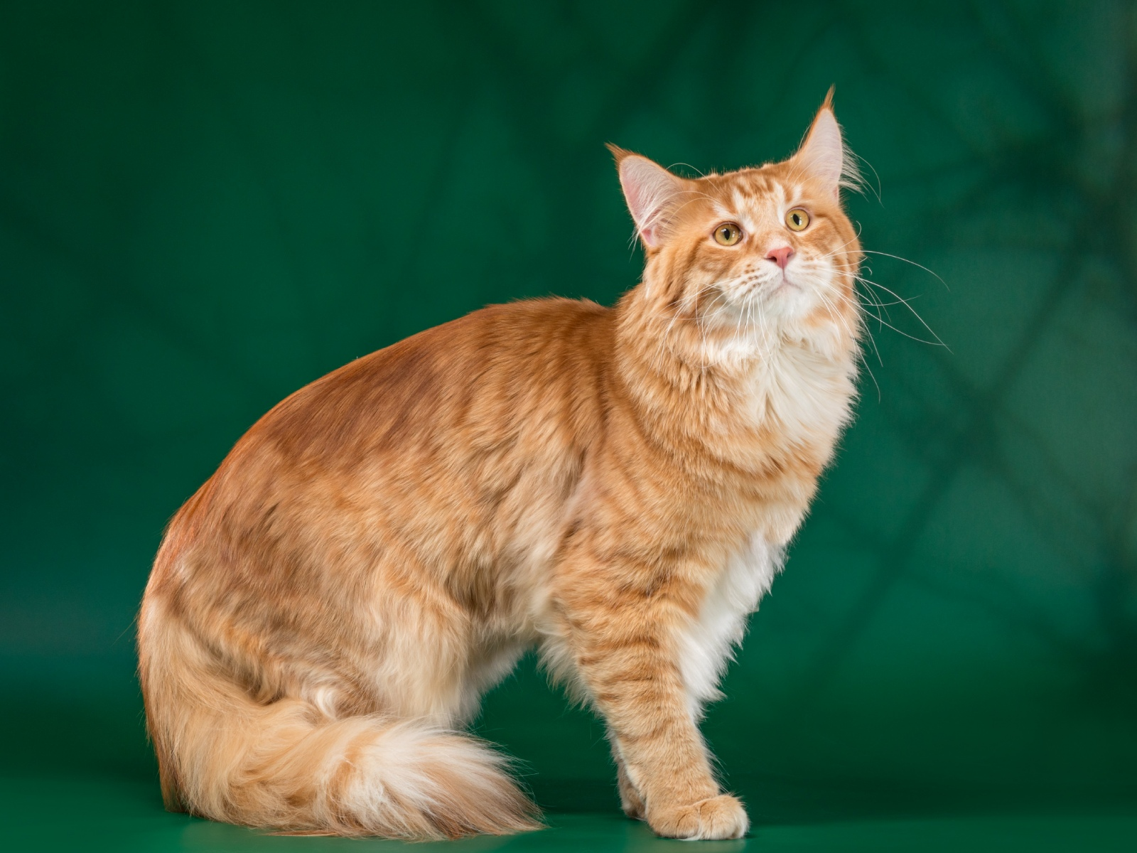 Кот на вязку - Yosia Richard Gold King (MCO d 23) 3