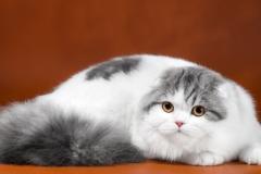 Кот на вязку - BigBossKotomirus (SFL)