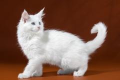 Котята Мейн-кун из питомника Enigma Spirit
