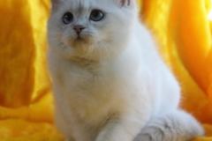 Британские котята из питомника KisPerCarus