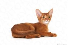 Абиссинские котята из питомника Hecate