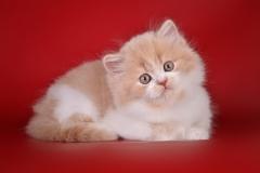 Шотландские котята из питомника Alliance de Charm