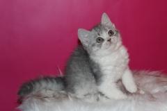 Котята Селкирк рекс из питомника Pride Fansimo