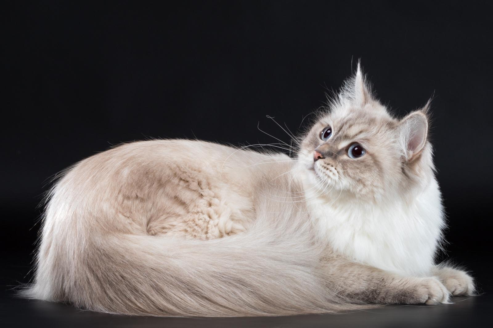 Siberian cat - Nevaneko - Принцесса из Лукоморья (AAM_2298)