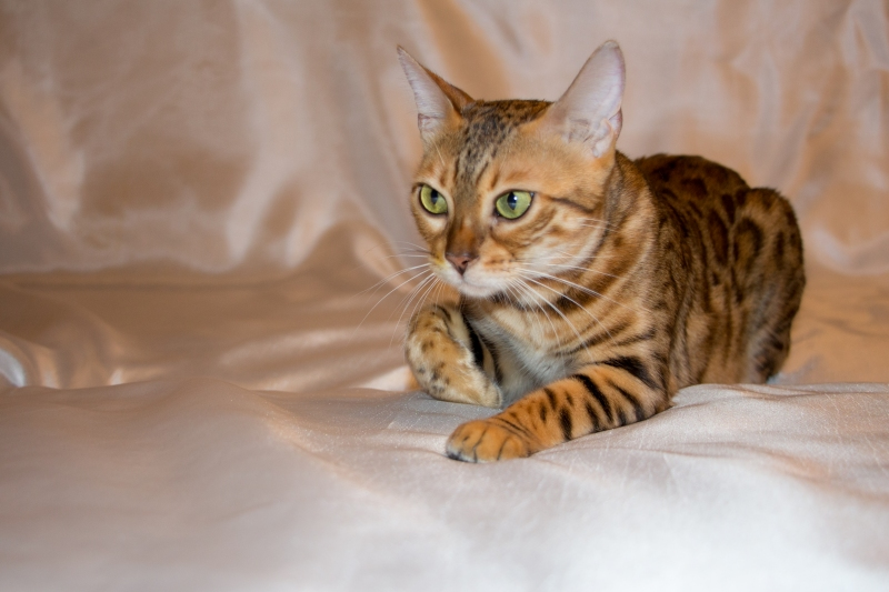 Bengal cat - CleoBenKs Korporation - CleoBenKs Korporation DEMMI MUR (IMG_3701)