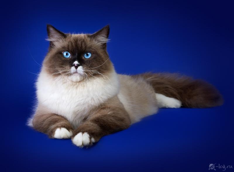 Siberian cat - Nevaneko - Lebowski View Angel (S12A5772) (delete)