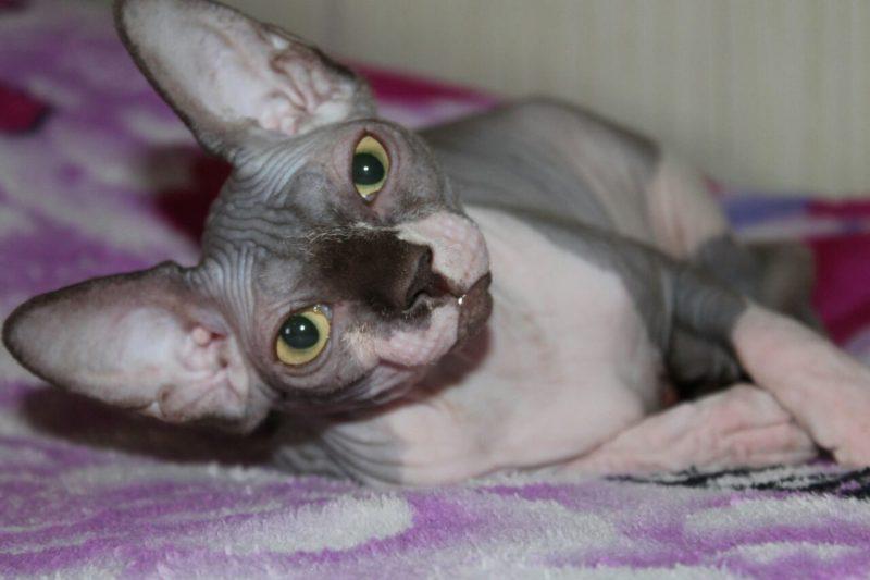 Sphynx cat - Vilia Prano - Elisa-Dushku (IMG_20171206_214908_0)