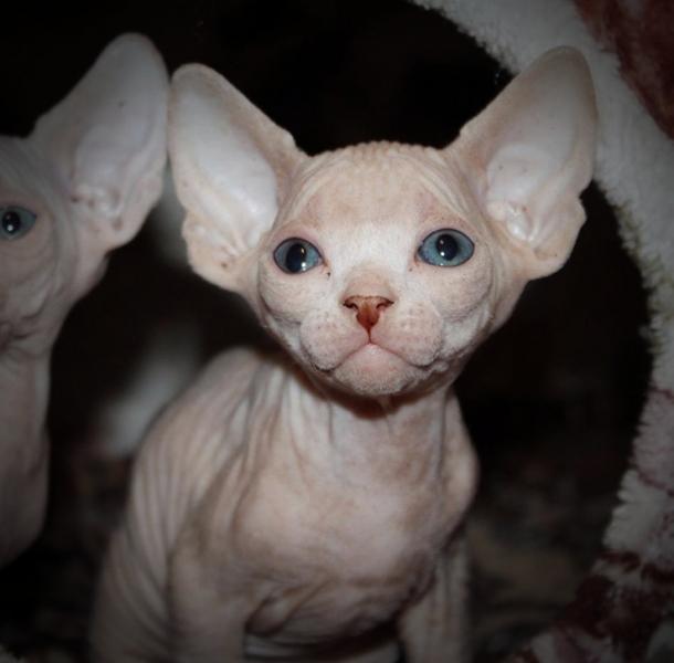 Sphynx cat - Vilia prano - Vilia prano duglas (BeautyPlus_20180102161634_save)