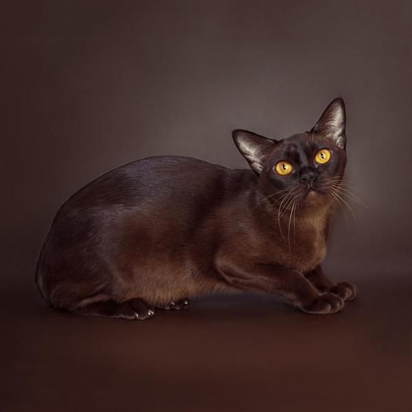 Burmese cat - Burmagesty - Burmagesty Genny - 0E3CE253-4DD4-423C-B639-B67414E95468