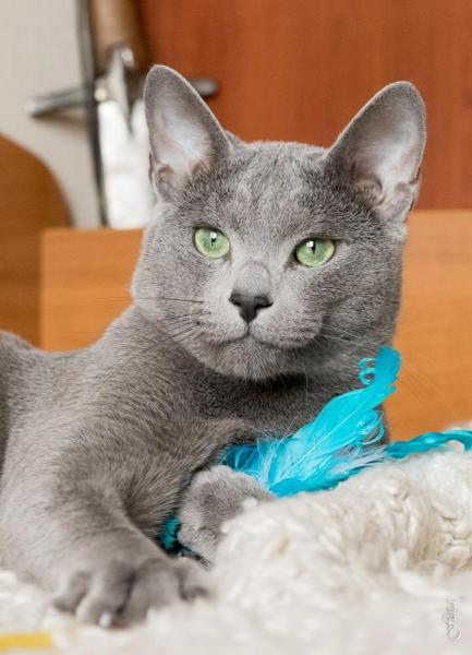Russian Blue - Fluffy Dream - Cephei Blue Star - IMG-20191115-WA0005