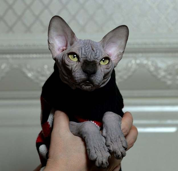 Sphynx cat - Perfect Line - JOSER DIAMOND - unnamed-file