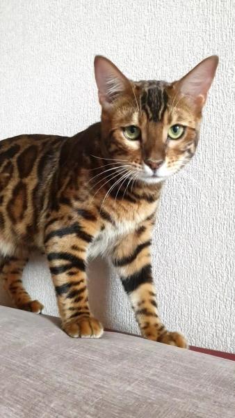 Bengal cat - - Amaty Cay Cerius - 20200509_102208_capture