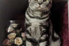 British Shorthair - Silver whale - Vice Silver whale - IMG_20201112_180912