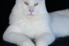 Maine Coon - Vaal Gat - Dreamcatcher-KZ Kaiowa for Vaal Cat - КАЙ