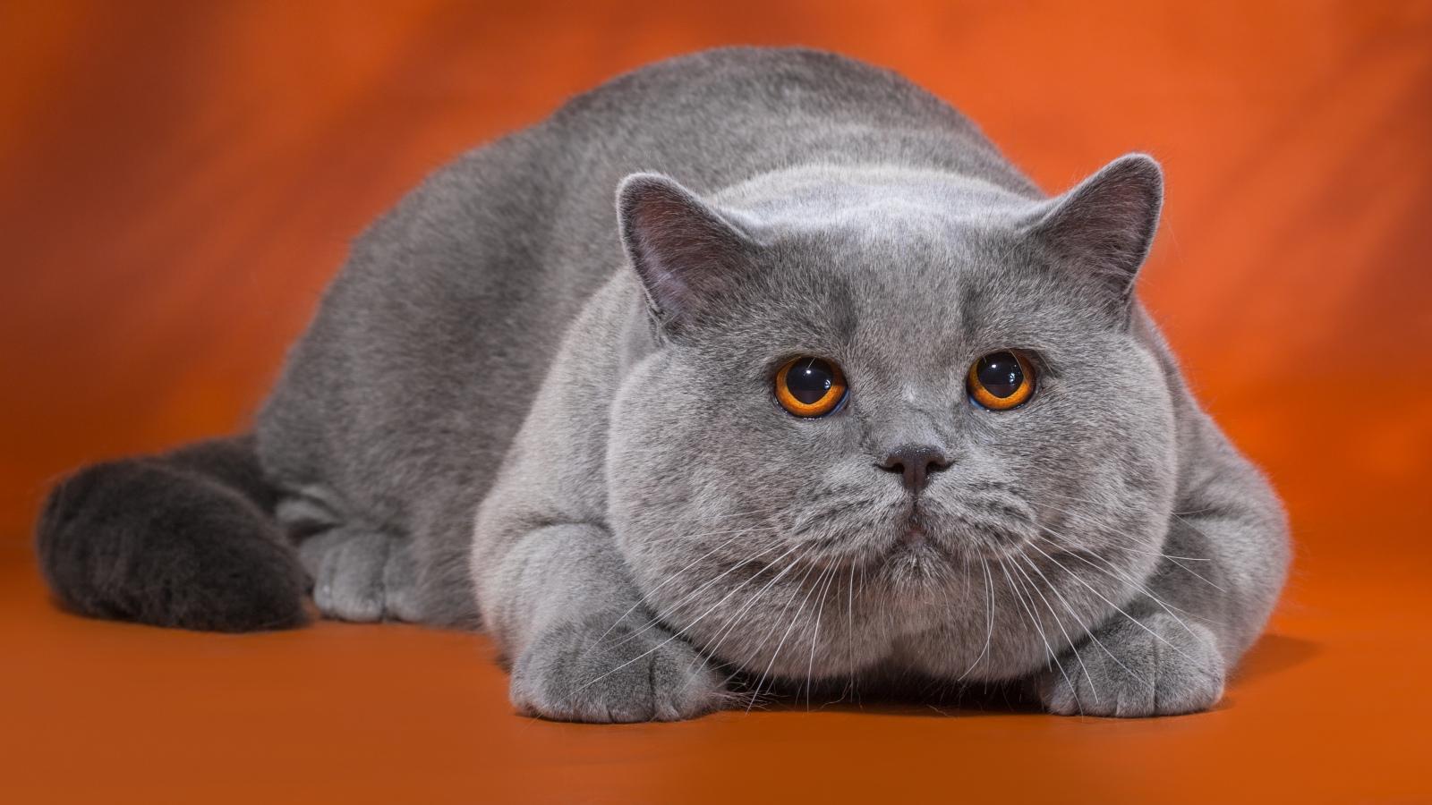 Фото котов британцы веслоухие