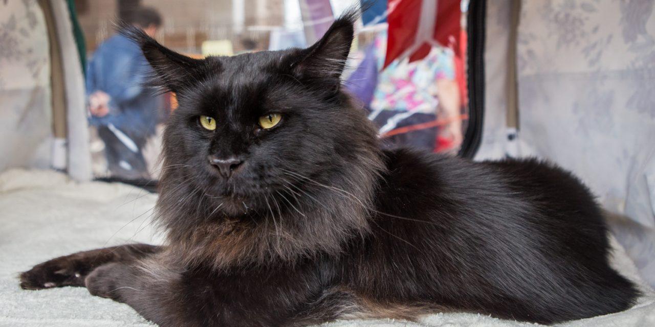 Фотоальбом Международной Шоу-выставки кошек всех пород 10-11 июня 2017 г. «Встречи на Оби»