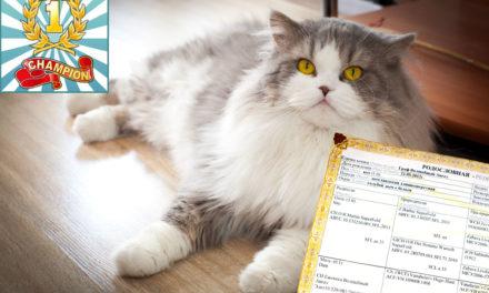 Кот на вязку — Граф Волшебный Ангел (Хайленд Страйт)