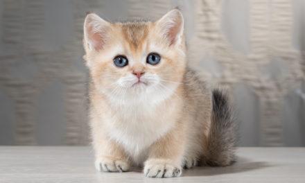 Британские котята из питомника Island Richmond