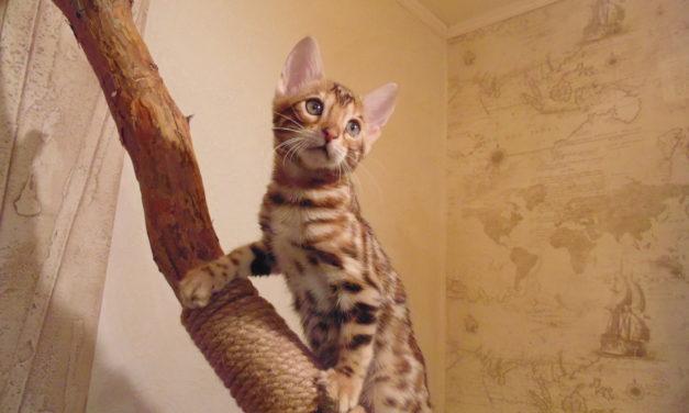 Бенгальские котята от питомника RossChant