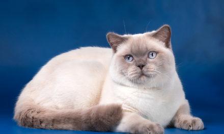 Кот на вязку — Halk One (BRI)