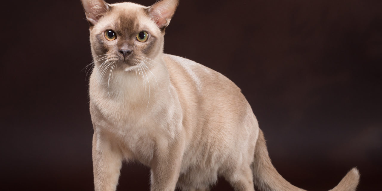 Кот на вязку — Ch. Mur Aversano Ferrari (бурманская, BUR b)